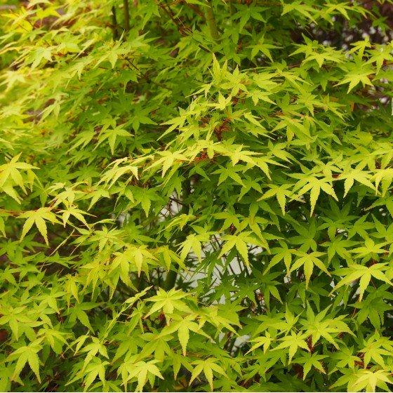 """érable """"Ueno Yama"""", feuillage vert vif en été"""