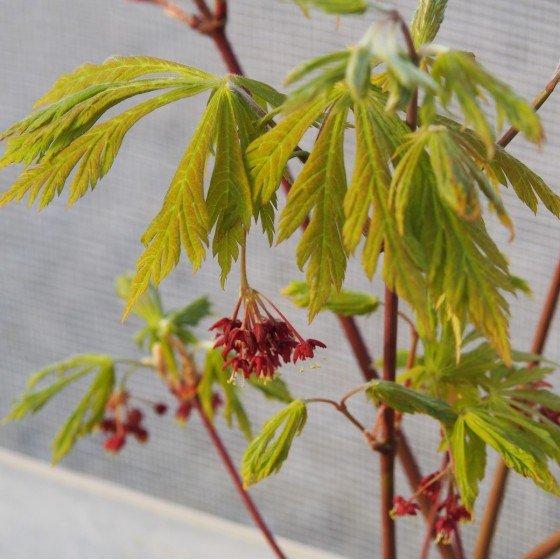 """érable """"Aconitifolium"""", jeunes pousses et fleurs au printemps"""