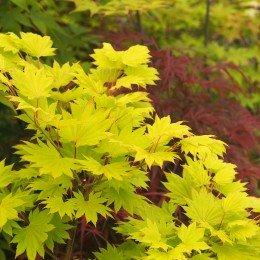 "érable ""Shirasawanum aureum"", jaune vif au printemps"