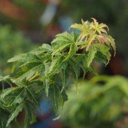 """érable """"Crispii"""", feuilles frisées"""